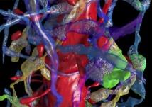 Las imágenes producidas por el equipo de Lichtman muestran una enorme densidad en las conexiones neuronales. Fuente: Cell.
