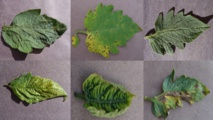 Hoja de tomate sana (arriba a laderecha), junto con cinco hojas enfermas. Imagen: David Hughes. Fuente: Penn State.