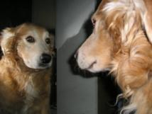 NICO, un golden retriever adulto, observa su reflejo durante la prueba del espejo. Imagen: Georgia Pinaud. Fuente: Wikipedia.