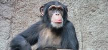 Chimpancé común, en el zoo de Leipzig (Alemania). Imagen: Thomas Lersch. Fuente: Wikipedia.