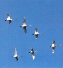 Las aves podrían contar con un sistema cuántico de orientación en vuelo