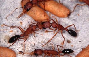 Una hormiga domina a otra mordiéndole en la cabeza. Imagen: J. Liebig. Fuente: ASU.