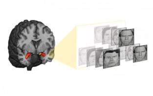 La amígdala (en rojo) responde a las amenazas. Imagen: Laboratorio de A. Hariri. Fuente: Universidad Duke.