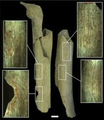 El fémur de la izquierda muestra hoyos y muescas causados por golpes, y el de la derecha muestra arañazos. Escala: 1 cm. Fuente: Real Instituto Belga de Ciencias Naturales.