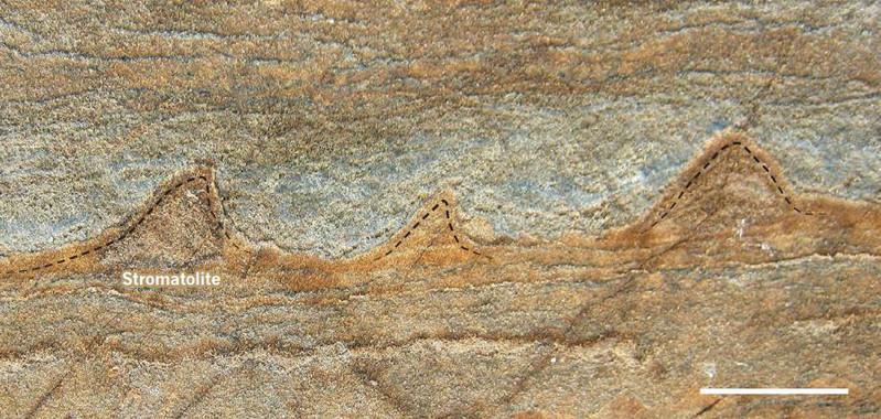 Vista transversal de un fragmento de roca en el que se pueden ver los estromatolitos de forma cónica de 3.700 millones de años de antigüedad.  Imagen: Yuri Amelin. Fuente: SINC.