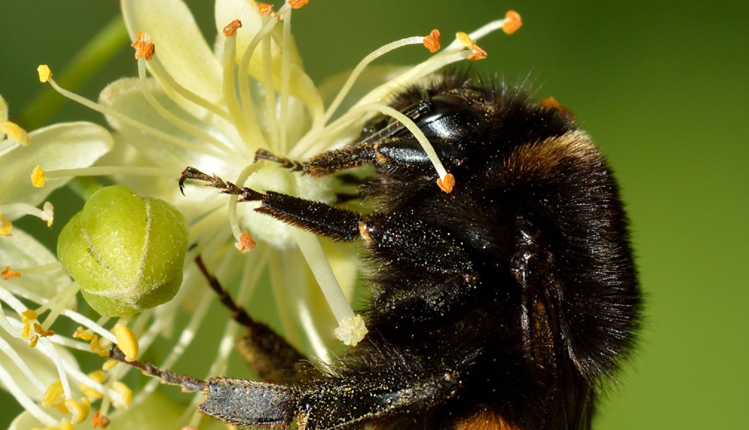 El abejorro común (Bombus terrestris). Imagen:  Ivar Leidus - Trabajo propio. CC BY-SA 4.0. Fuente: Wikimedia Commons.
