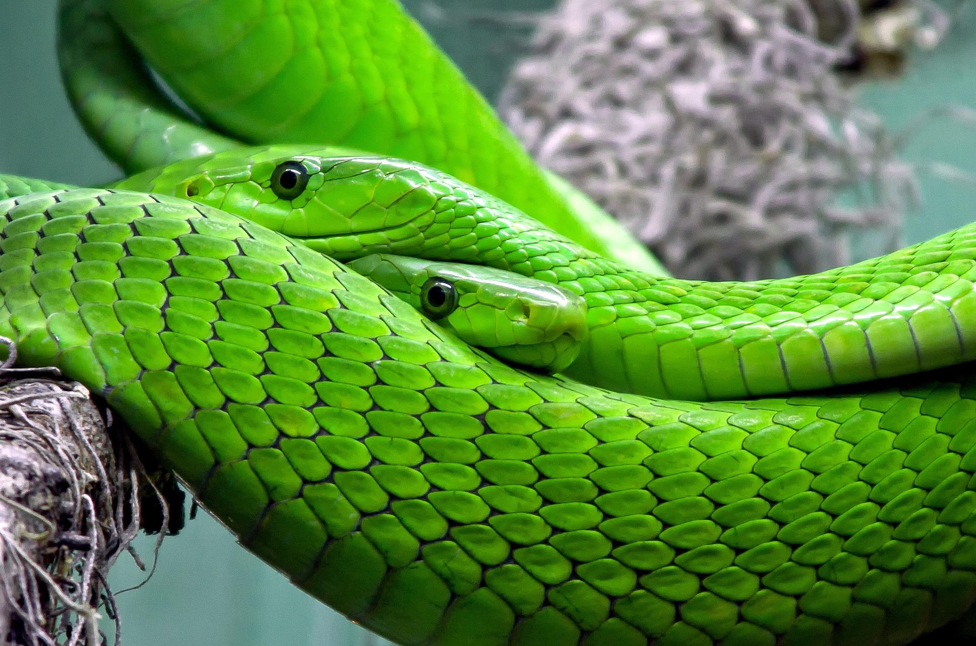 Serpiente mamba verde. Foto: Rabe