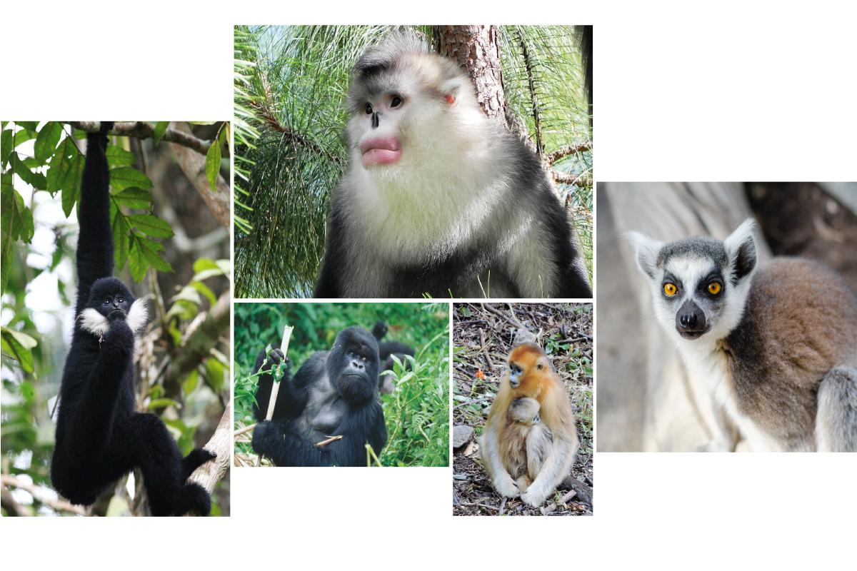 Los primates no humanos en peligro de extinción incluyen, en el sentido de las agujas del reloj, el mono de nariz chata (foto: Paul Garber), el lémur de cola anillada (foto: Matthias Appel) el gorila de montaña (foto: Ruggiero Richard) y el gibón de mejillas blancas (foto: Fan Peng-Fei). Foto montaje: Universidad de Illinois.