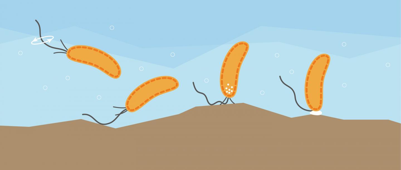 Ilustración de cómo las bacterias utilizan sus flagelos para reconocer la superficie que pretenden colonizar y desencadenar los mecanismos que propagan la infección. Fuente: University of Basel, Biozentrum