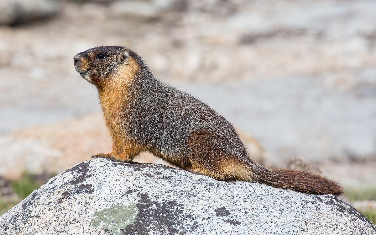 Ejemplar de marmota de vientre amarillo. Foto: Photo by DAVID ILIFF. License: CC-BY-SA 3.0.