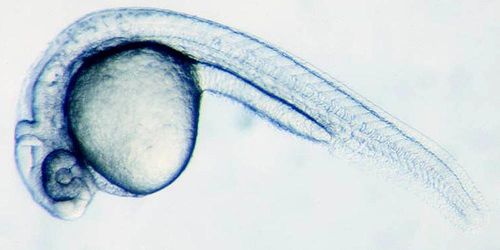 Desarrollo de un pez cebra 28 horas después de la fertilización. Universidad de Basilea.
