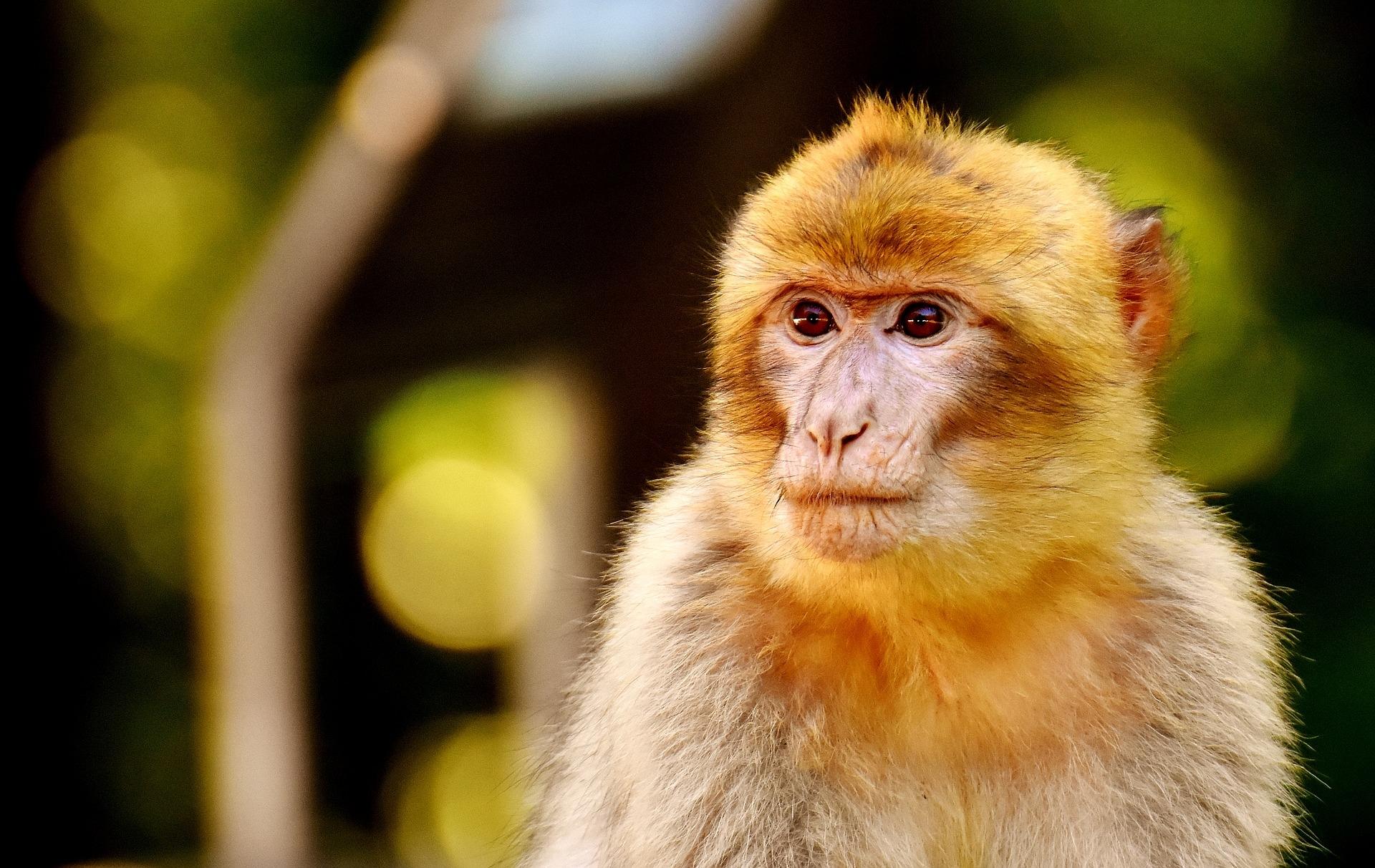 Para el estudio se utilizó un modelo informático del cerebro de los macacos. Imagen: Alexas_Fotos. Fuente: Pixabay.