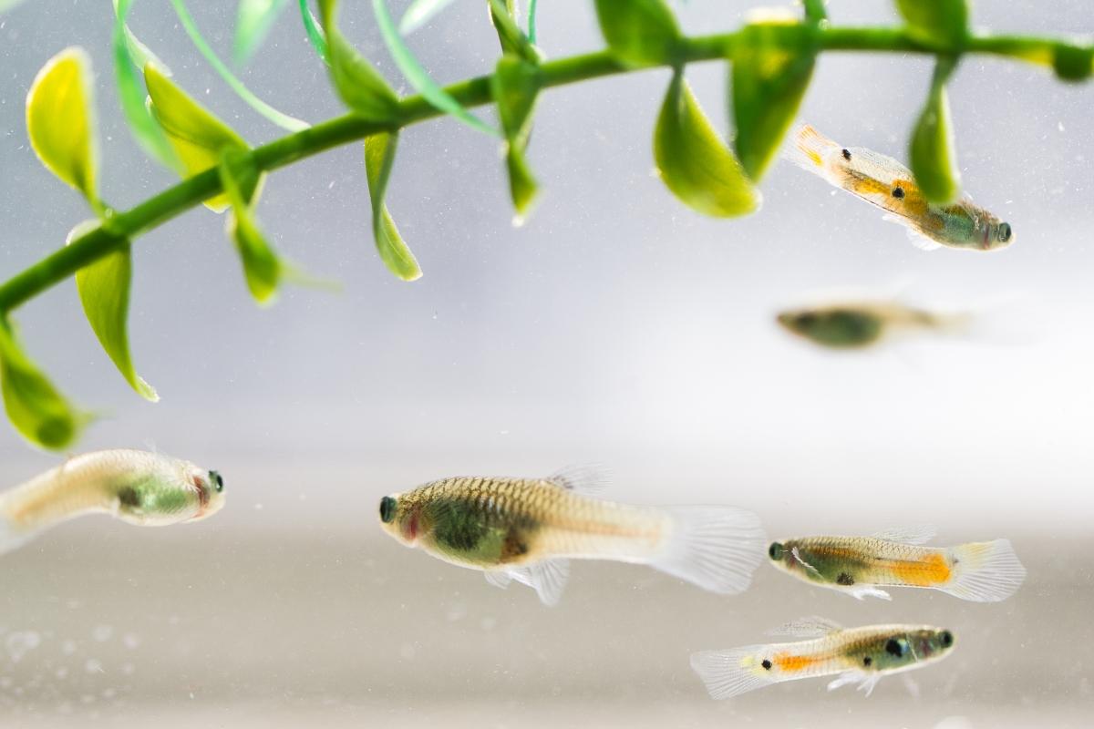 Guppys salvajes en un acuario con dos hembras a la izquierda y tres machos (más pequeños y con manchas de color naranja) a la derecha. Foto: Laura Chouinard-Thuly / Université McGill.