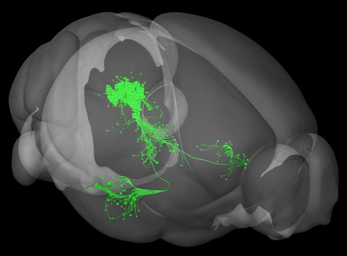Un grupo de neuronas dopaminérgicas en la sustancia gris central detecta eventos desagradables  e instruye a la amígdala para almacenar estas experiencias en la memoria del miedo. Allen Institute for Brain Science.