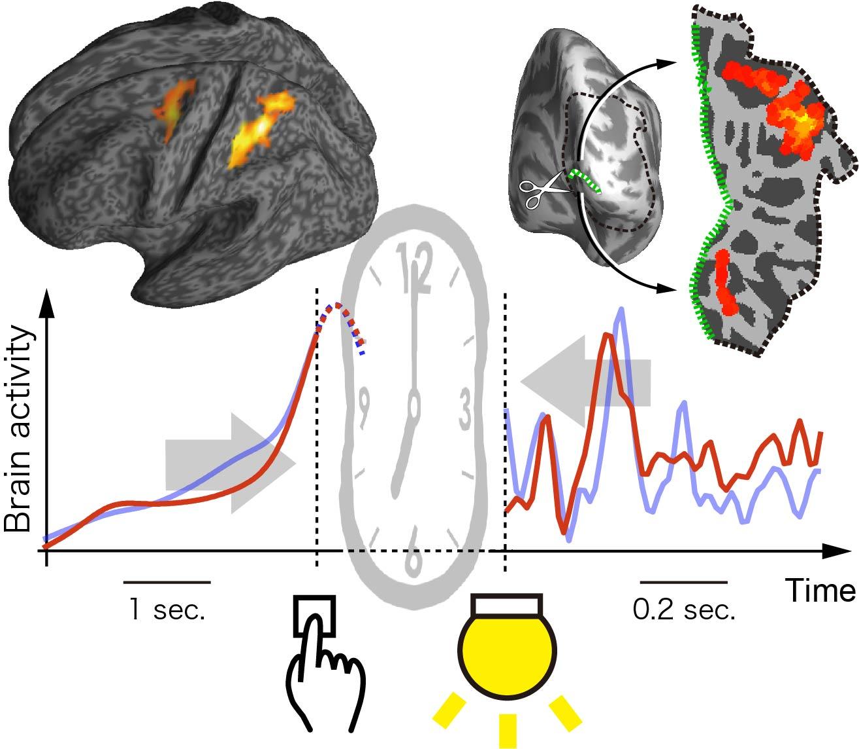 Mecanismo cerebral implicado en los intervalos de tiempo. © 2018 Chang Cai e Hiroshi Imamizu. Universidad de Tokio.