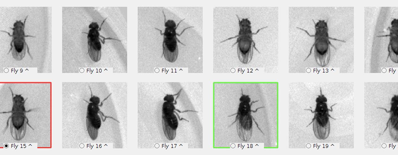 Sistema de identificación visual de la mosca utilizado en la investigación. Imagen: CIFAR.