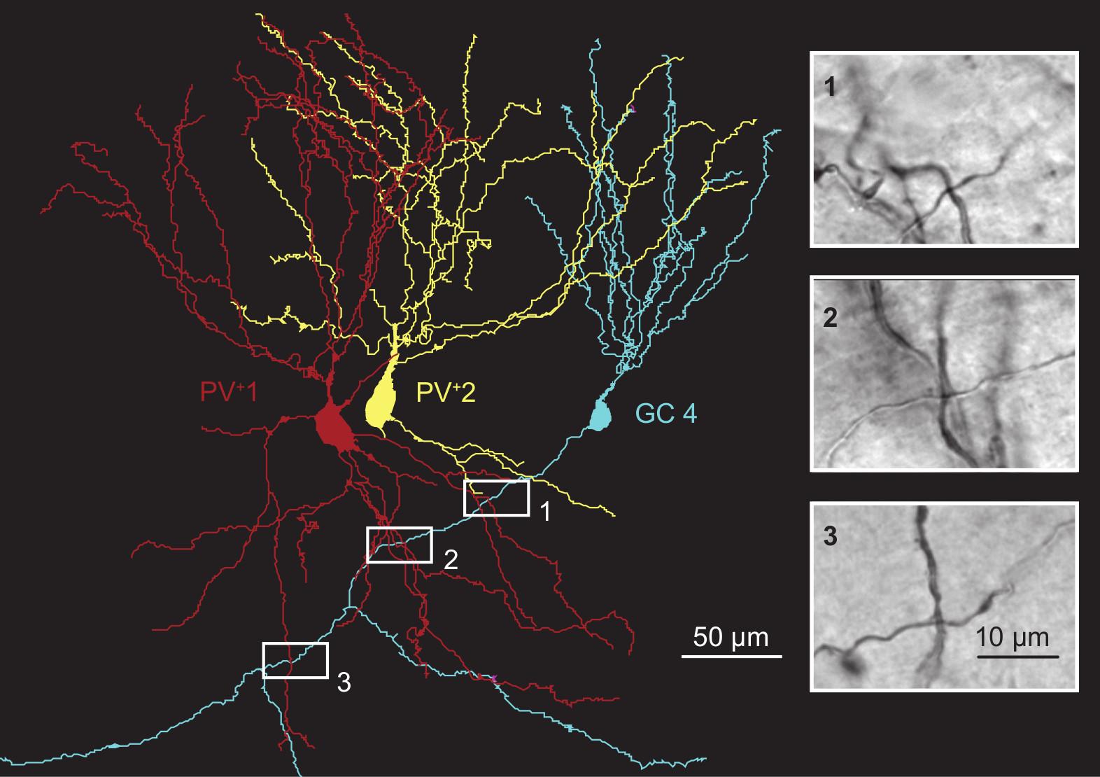 Reconstrucción digital de dos interneuronas (en rojo y amarillo) que expresan parvalbúmina junto a una neurona granular (en azul). Las conexiones sinápticas se aprecian en las fotografías laterales en blanco y negro. Imagen: Espinoza et al. IST.