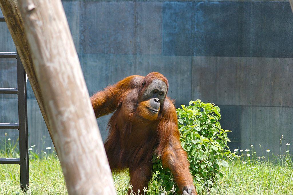 Orangután de Sumatra en el Zoo Columbus, Powell, Ohio. Foto: Ryan E. Poplin.