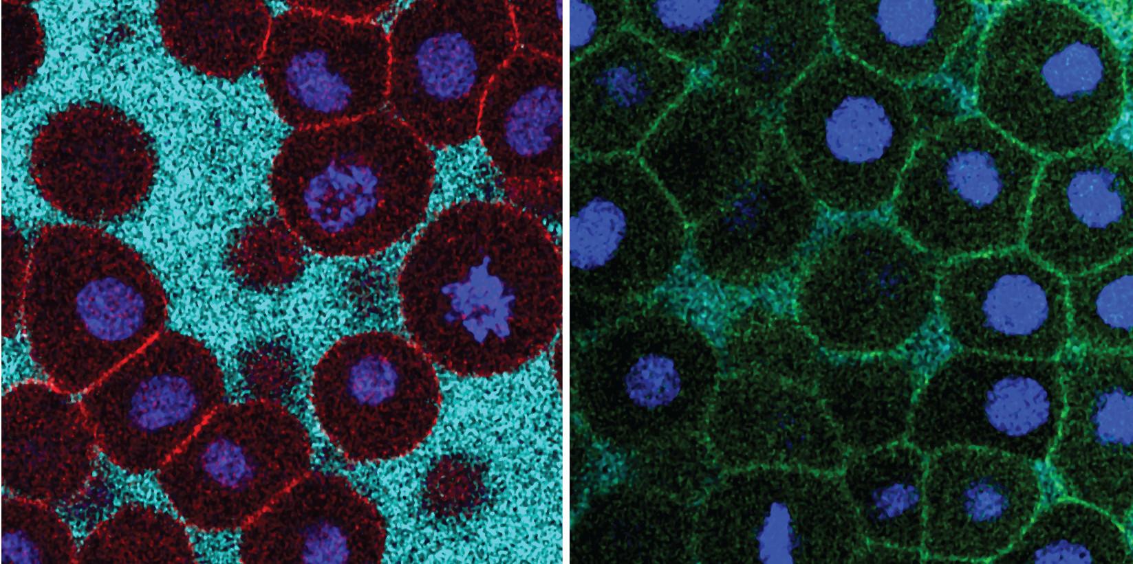 Las células pierden contacto entre sí durante la fluidización y permanecen en contacto estrecho cuando se deteriora la fluidización. Nicoletta Petridou. IST Austria.