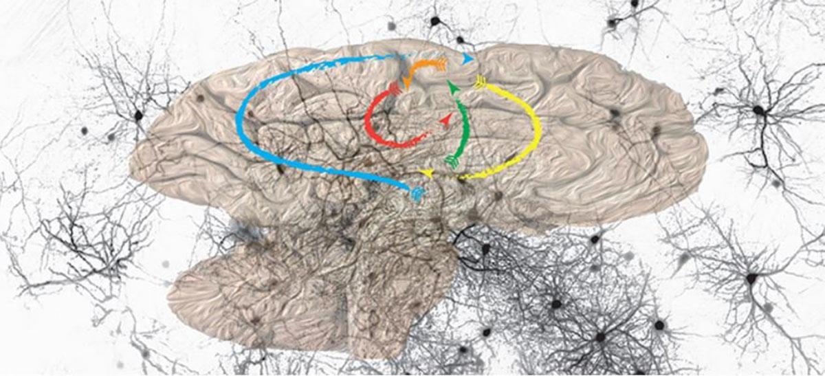 La información va y viene en el cerebro antes de proporcionar una imagen del entorno. Imagen: Universidad de Ginebra.