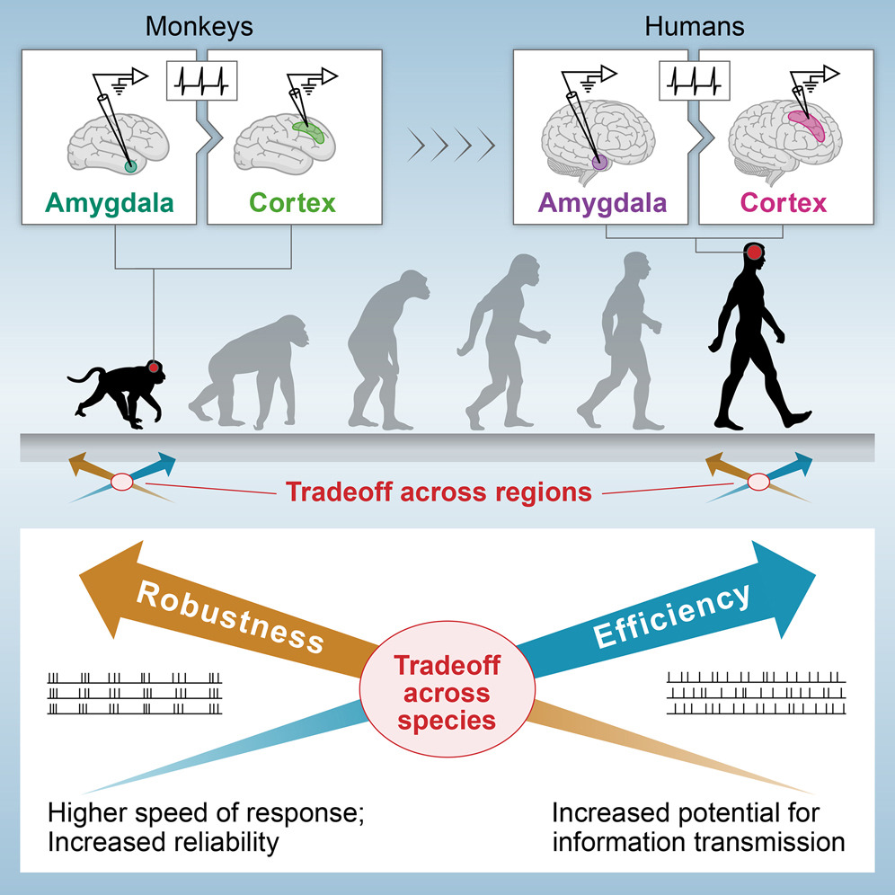 Comparativa de eficiencia y robustez de las áreas cerebrales (amígdala y corteza) de monos y hombres: cuanto más avanzado evolutivamente, más eficiente y menos robusta resulta ser cada área cerebral de humanos (derecha) y monos (izquierda). Weizmann Institute of Science.