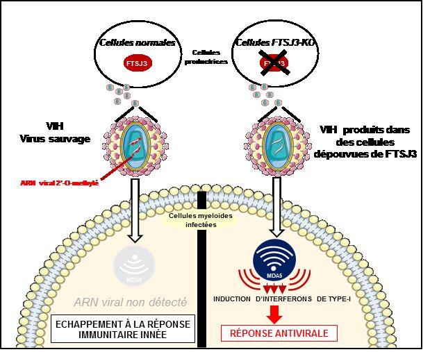 A la izquierda, el VIH escapa a la respuesta inmunitaria innata gracias a la enzima FTSJ3. A la derecha, respuesta antiviral hacia el virus en células desprovistas de FTSJ3. Imagen: Inserm.