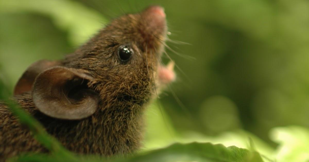 El ratón cantor de Alston. Foto: Bret Pasch.