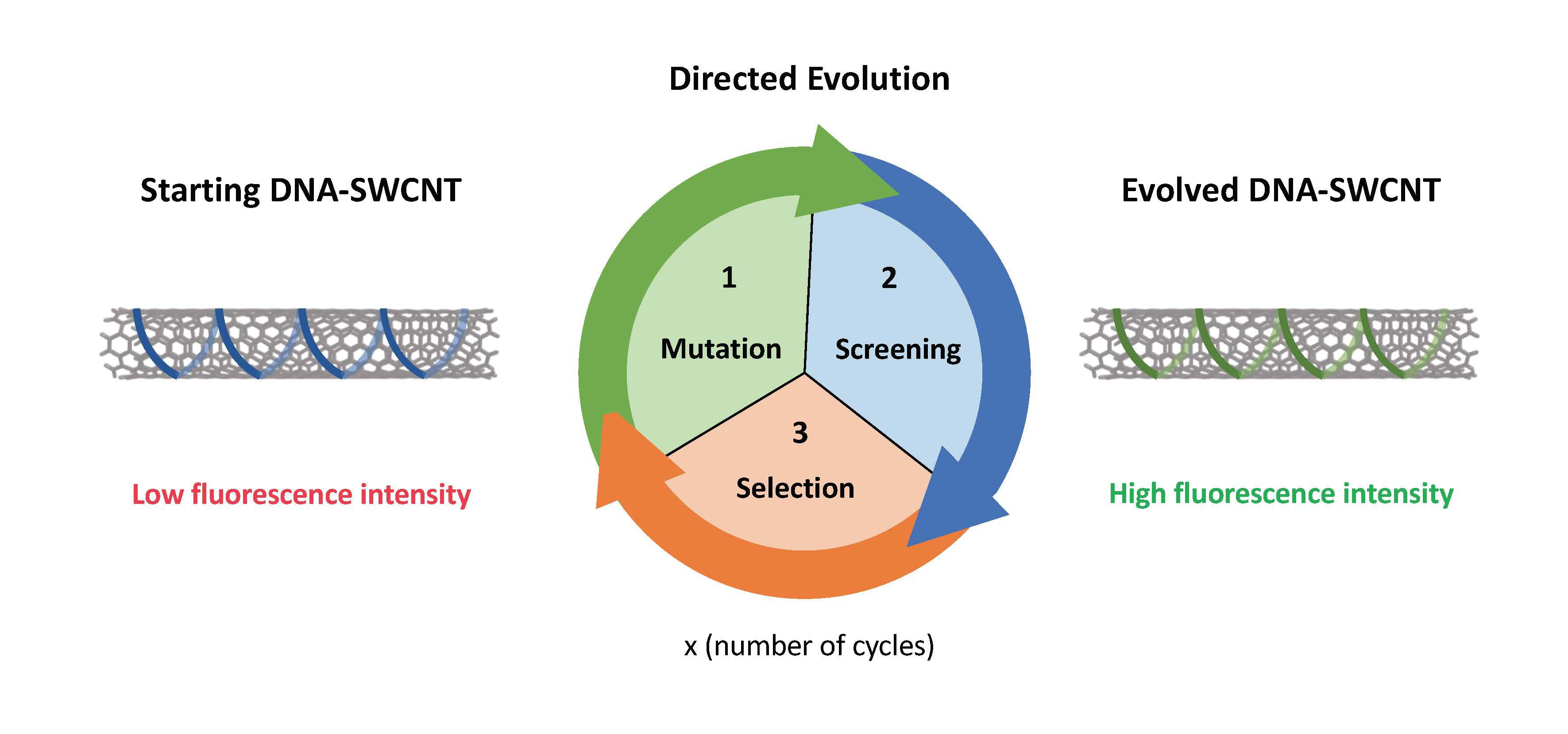 Principio general del enfoque de evolución dirigida aplicado a los complejos ADN-SWCNT de nanopartículas. Imagen: Benjamin Lambert (EPFL).