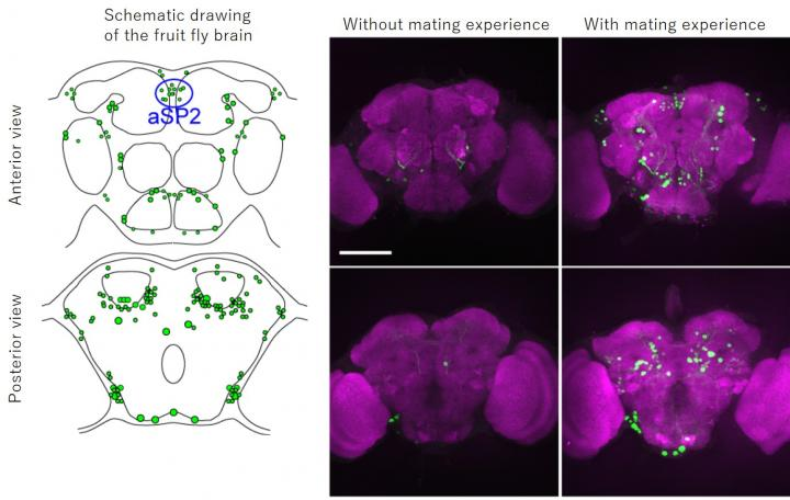 A la izquierda, dibujos esquemáticos del cerebro de la mosca de la fruta. Las células neuronales implicadas en el apareamiento están resaltadas en verde por la proteína GFP. A la derecha, imágenes de los cerebros de moscas macho con o sin experiencia de apareamiento. Las neuronas que estaban activas durante el apareamiento se tiñen de verde. Imagen: Kanazawa University.
