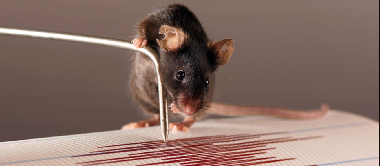 """Los mecanorreceptores que se encuentran en los huesos de la extremidad anterior de los ratones podrían actuar como un sismógrafo para """"escuchar"""" las vibraciones. Imagen: Daniel Huber /UNIGE."""