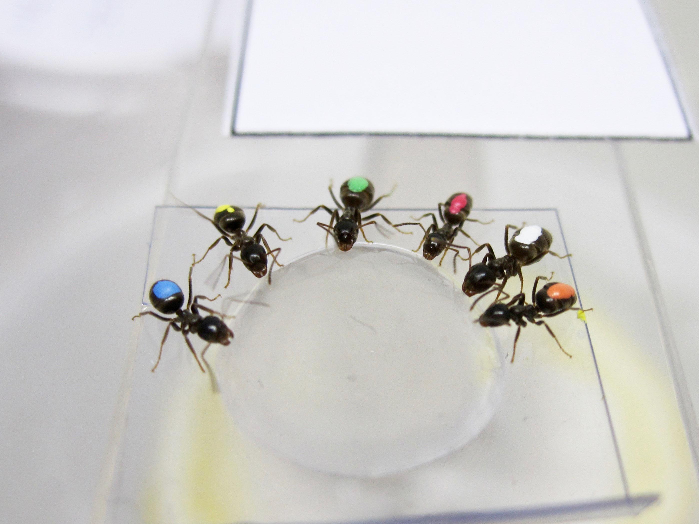 Las hormigas del experimento probando la comida facilitada por los investigadores. Crédito: A. Koch