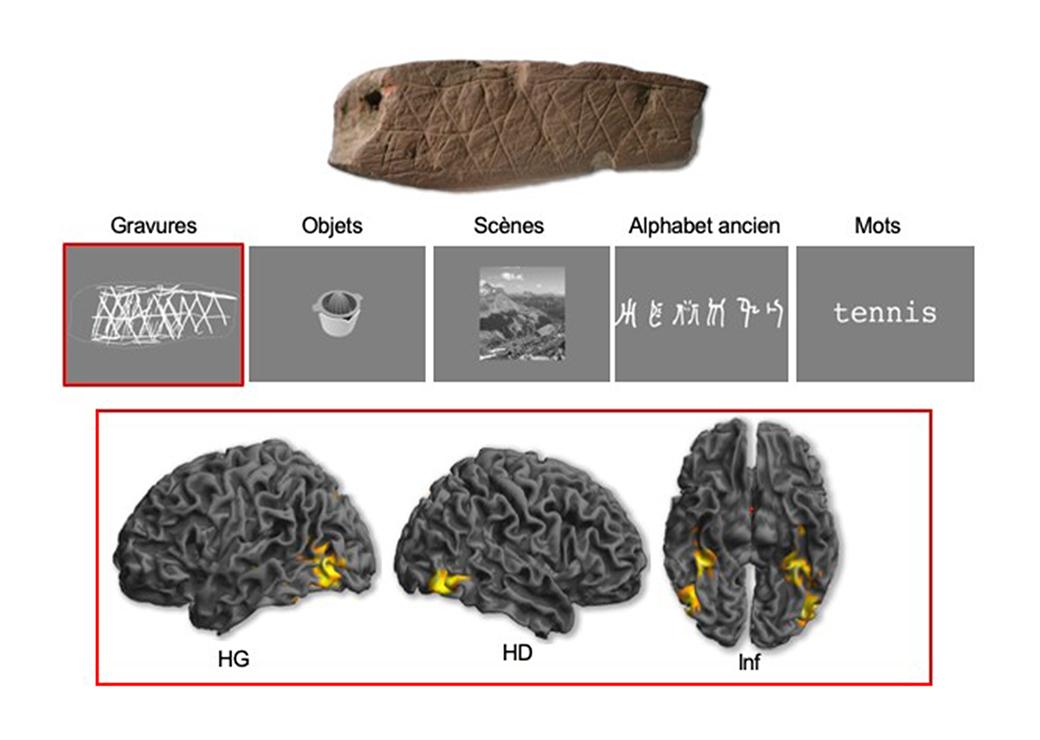 Arriba: Grabado descubierto en el sitio de Blombos (Sudáfrica). Centro: Ejemplo de categorías visuales utilizadas en el experimento. Parte inferior: vistas lateral e inferior de las activaciones cerebrales causadas por la percepción de los grabados ubicados en el lóbulo occipital y la parte ventral del lóbulo temporal (HG: hemisferio izquierdo, HD: hemisferio derecho, Inf: vista inferior). Estas activaciones son comparables a las causadas por la percepción de los objetos cotidianos. Crédito: Emmanuel Mellet y Francesco d'Errico.