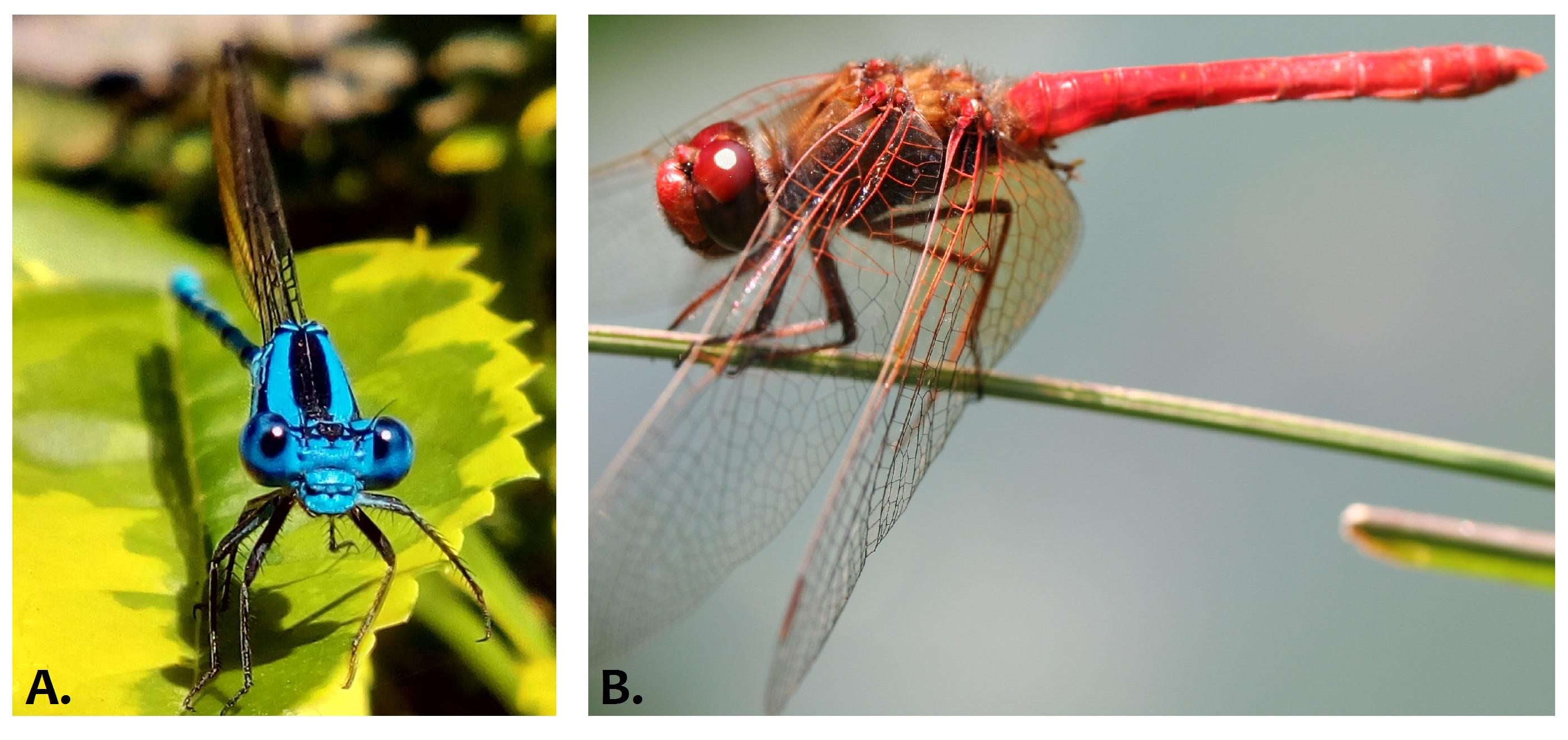 Figura 1. Representantes del orden Odonata. A. Caballito del diablo (suborden Zygoptera). B. Libélula (suborden Anisoptera). Fotos: Catalina Suárez Tovar.