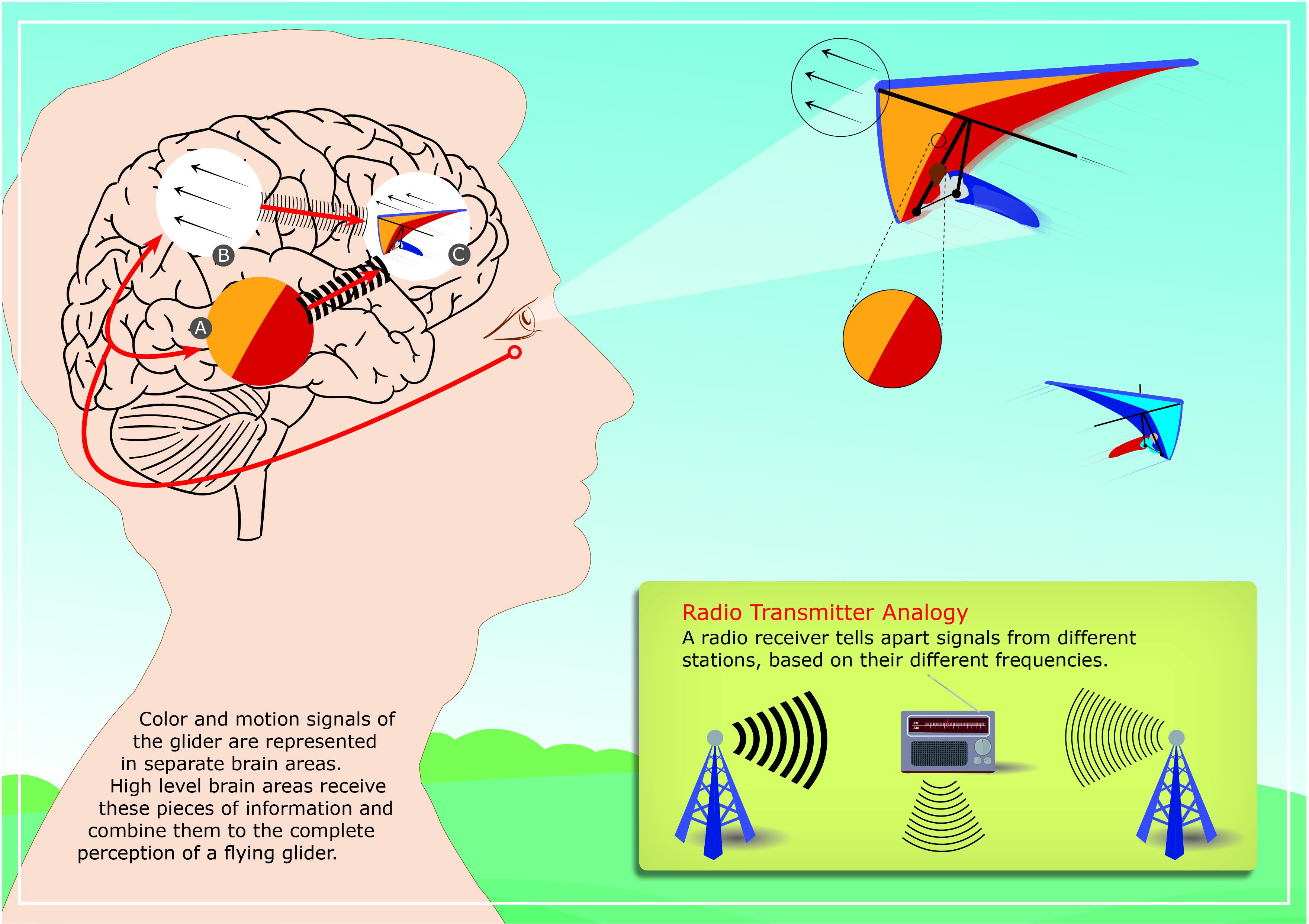 De forma similar a cómo un receptor de radio identifica el transmisor de radio desde el cual se origina una señal (insertada en la parte inferior derecha), las áreas de alto nivel de nuestro cerebro distinguen la fuente de una actividad de entrada neural en función de su frecuencia característica. En el dibujo de un cerebro humano, A y B marcan las áreas del cerebro dedicadas a analizar la información del color y la dirección del movimiento, respectivamente, y C denota áreas del cerebro de alto nivel que combinan la información sobre las características visuales individuales en una percepción unificada de los objetos visuales. En este ejemplo, el color y la dirección del movimiento del planeador seguido se analizan por separado en las áreas A y B, y luego se combinan en el área C para crear nuestra percepción única de todas las características del ala delta. Imagen: Centro Alemán de Primates.