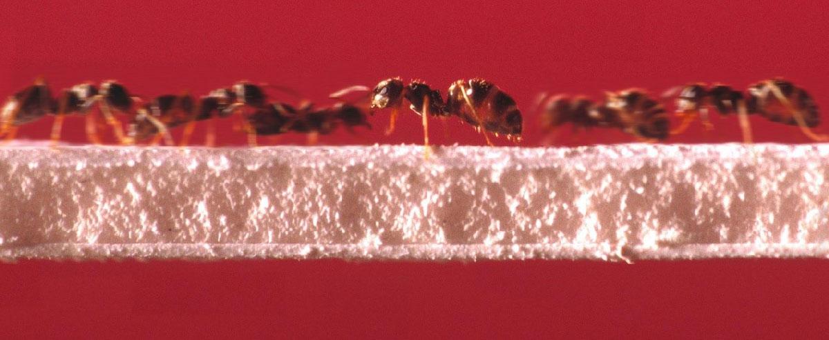 Hormigas sobre un puente. © Emmanuel PERRIN/CRCA/CNRS