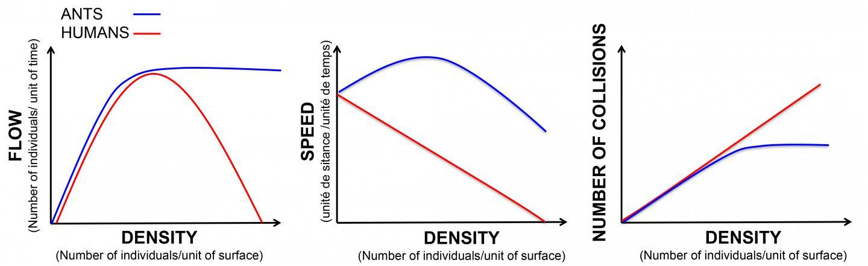 Comparación del tráfico de densidad en hormigas y humanos. © Audrey Dussutour