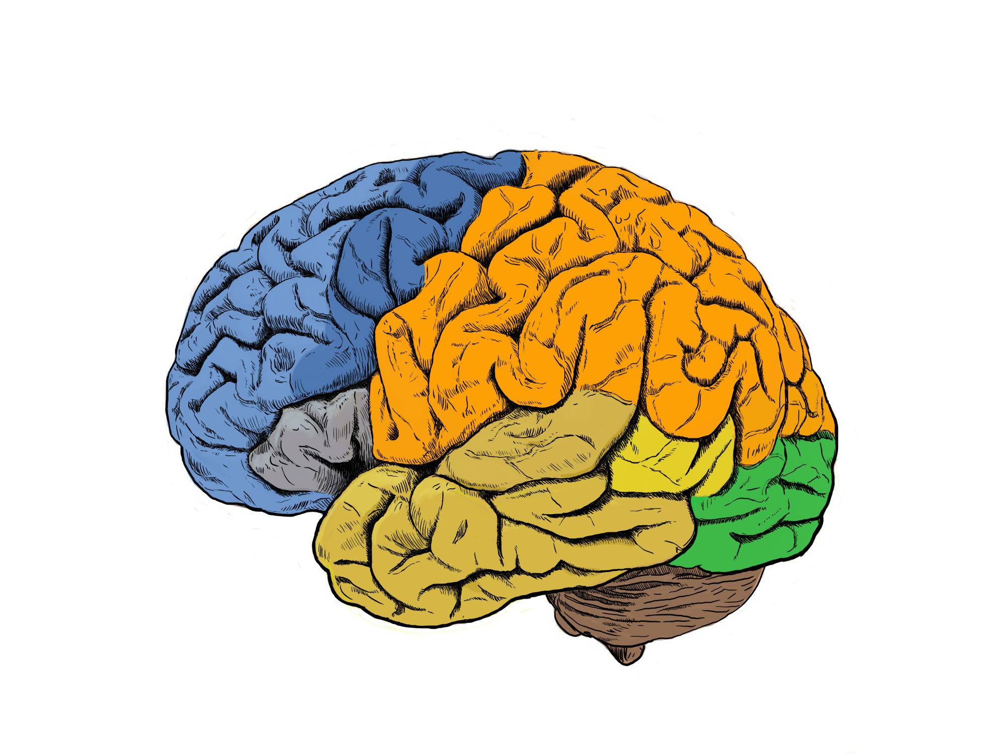 Las investigaciones se han centrado en áreas motoras (en azul oscuro) y sensoriales (en naranja) de la corteza cerebral. / CSIC