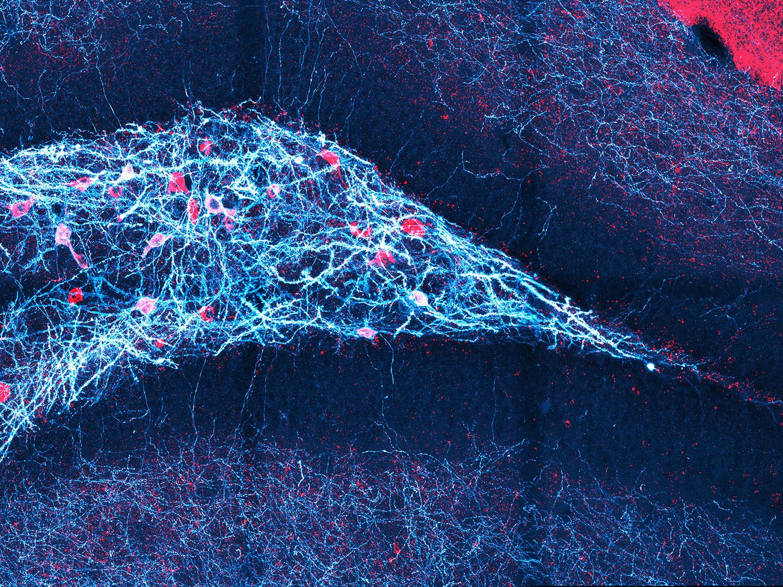 Giro dentado del ratón (la estructura en forma de flecha que apunta hacia la derecha): ciertas neuronas (rojas) se activan durante la inhibición neuronal y juegan un papel importante en este proceso. © Daniel Müller-Komorowska / Uni Bonn