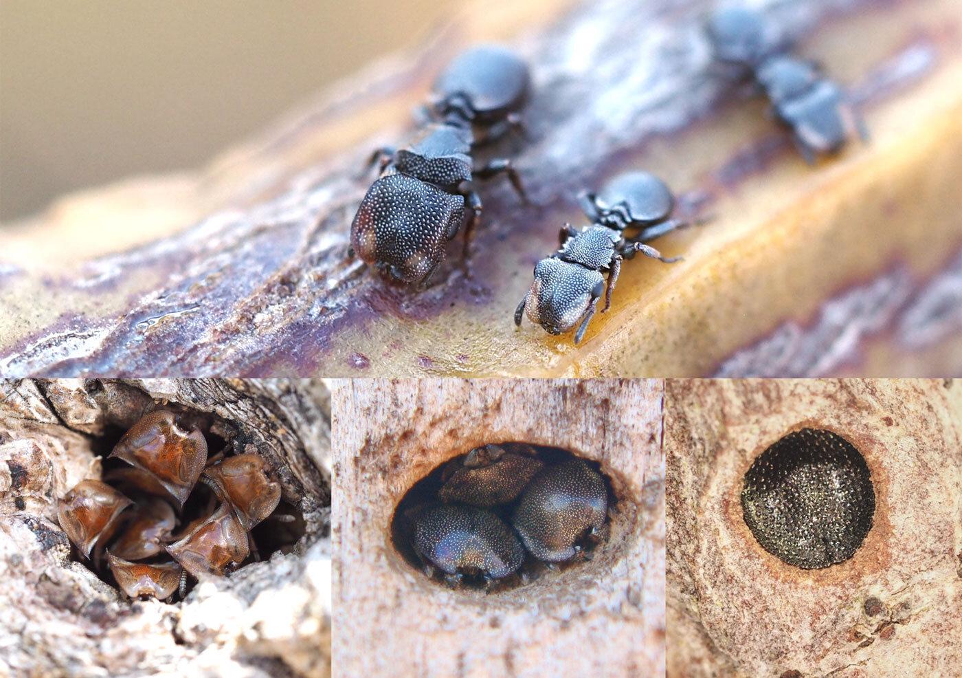 Las hormigas tortuga defienden de sus nidos adaptando la forma y tamaño de su cabeza a las dimensiones de la entrada. Foto: Universidad de Rockefeller.