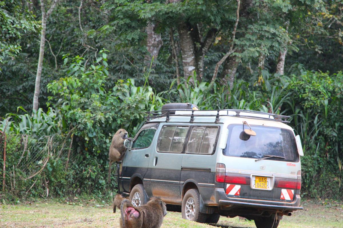 Un grupo de babuinos juega en el vehículo utilizado por la investigadora de Stanford Laura Bloomfield durante su recolección de encuestas en comunidades alrededor del Parque Nacional Kibale de Uganda. (Crédito de la imagen: Laura Bloomfield).