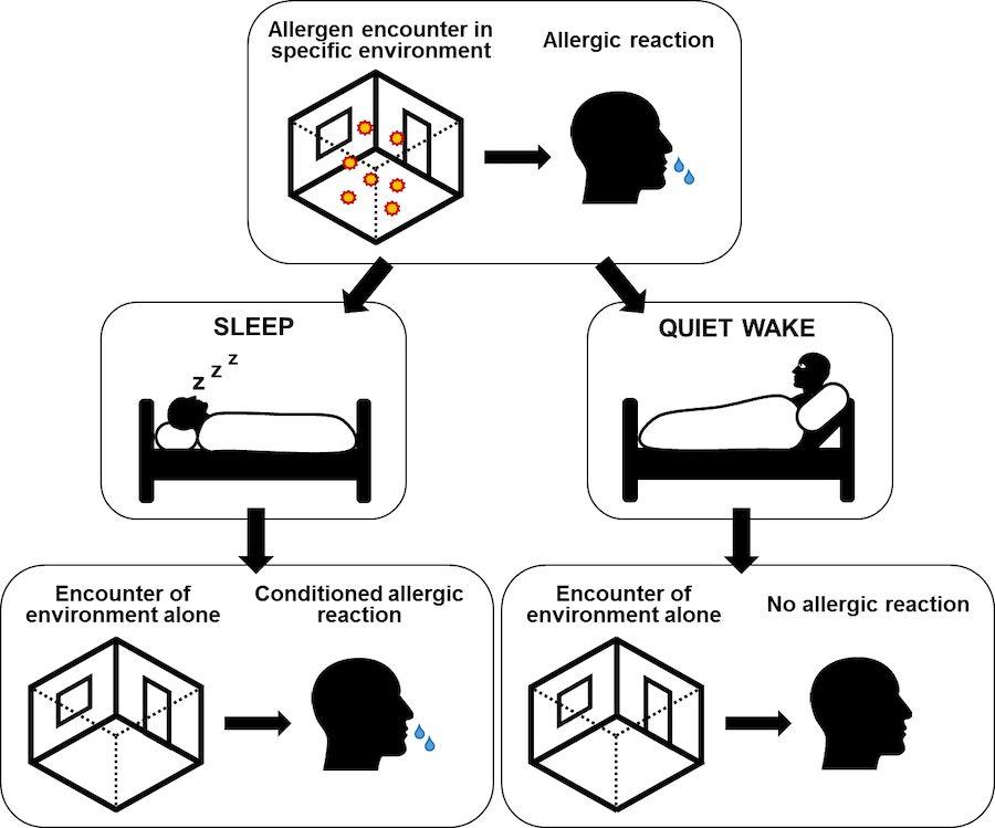Esquema que explica el mecanismo de la reacción alérgica injustificada. Universidad de Tubinga.