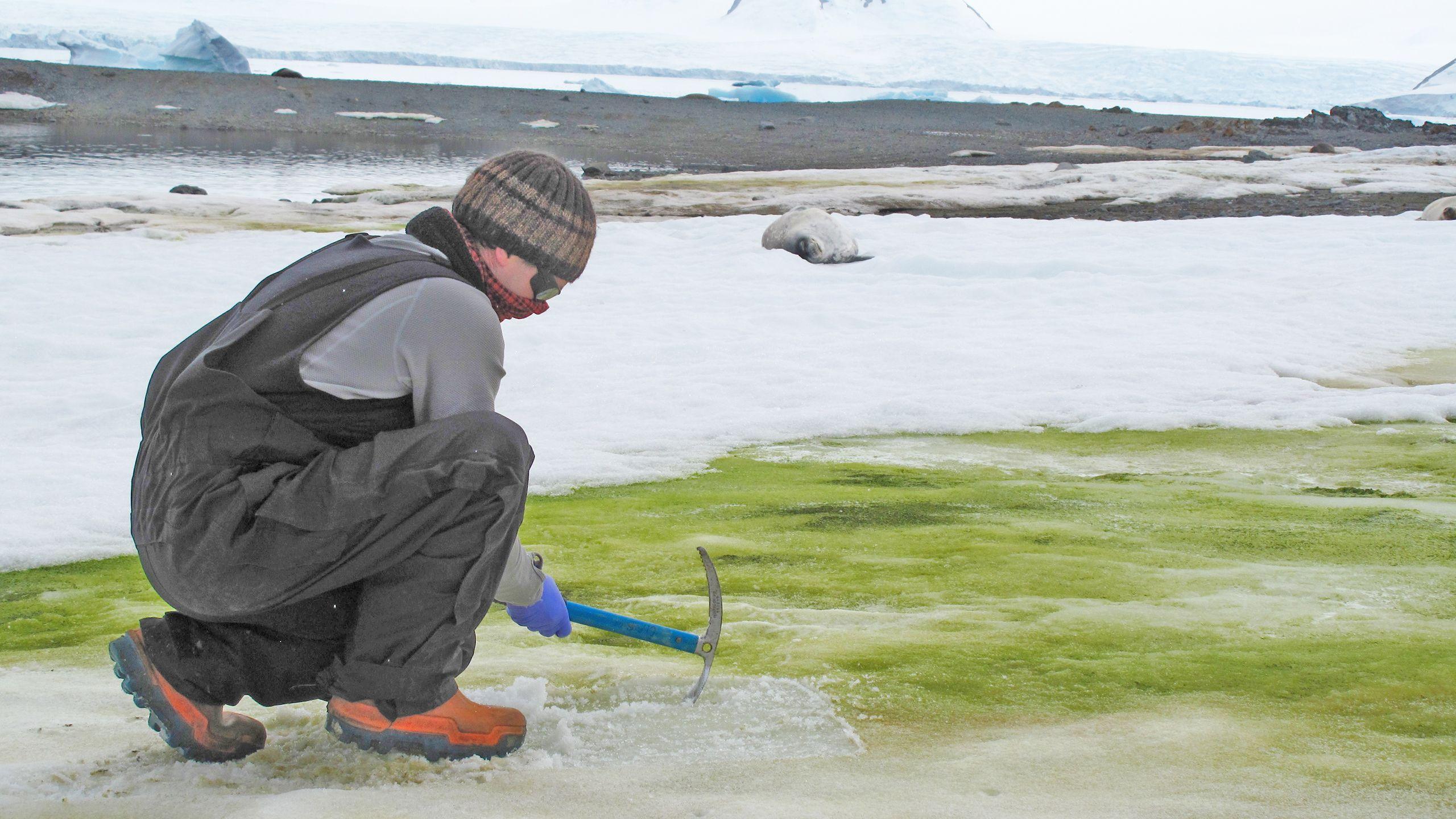 Algas verdes en la Antártida. Foto: Sarah Vincent.