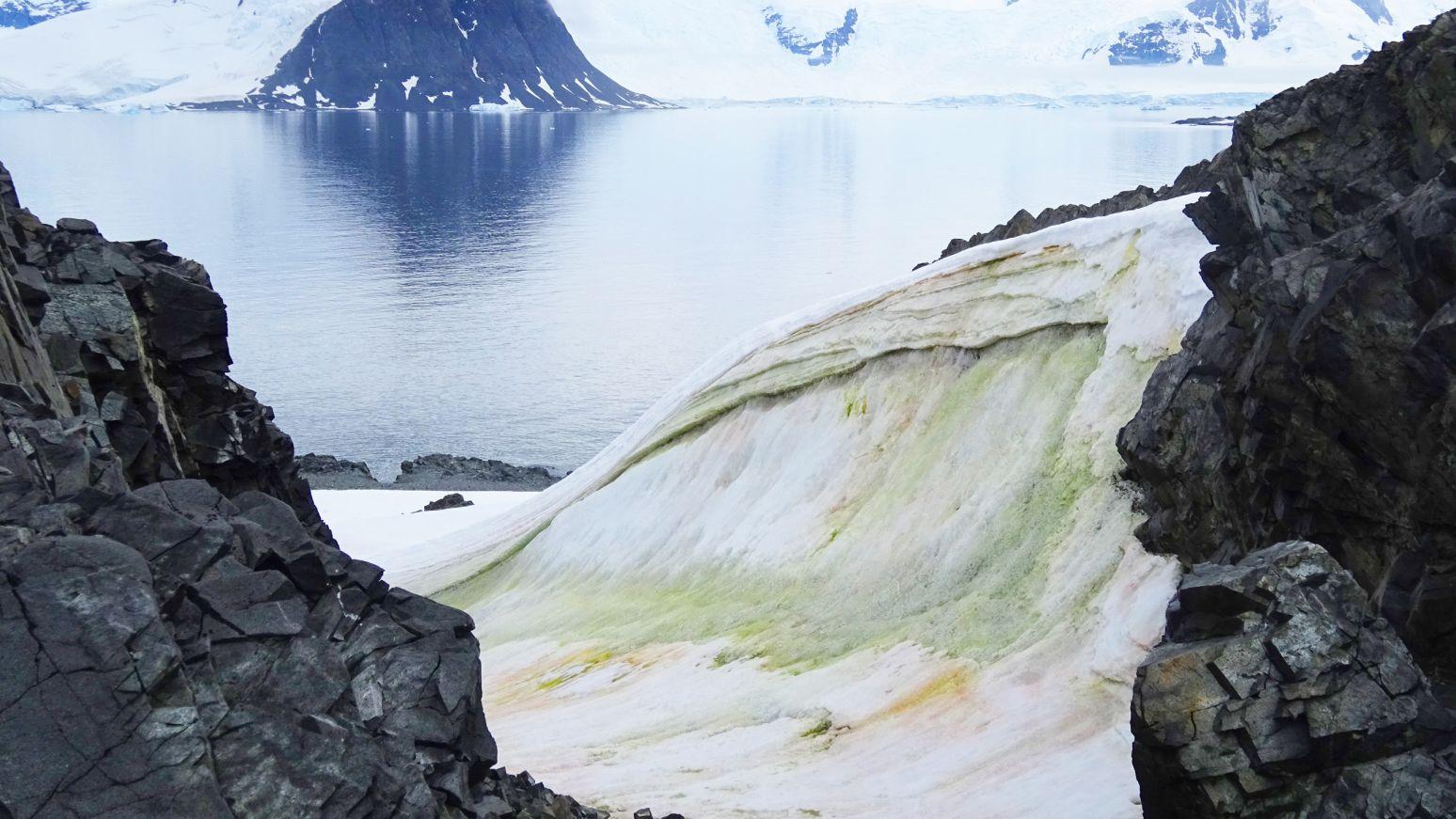Pequeñas algas que se vuelven verdes sobre la nieve proliferan en las costas antárticas. Foto: Matt Davey.