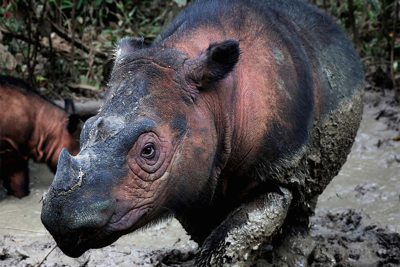 El rinoceronte de Sumatra (Dicerorhinus sumatrensis) es uno de los mamíferos más amenazados de la Tierra. Aproximadamente 80 individuos permanecen en el norte de Sumatra, Indonesia, pero la caza furtiva por sus colmillos y la pérdida de hábitat los amenazan con la extinción. (Crédito de la imagen: Rhett Buttler / Mongabay)
