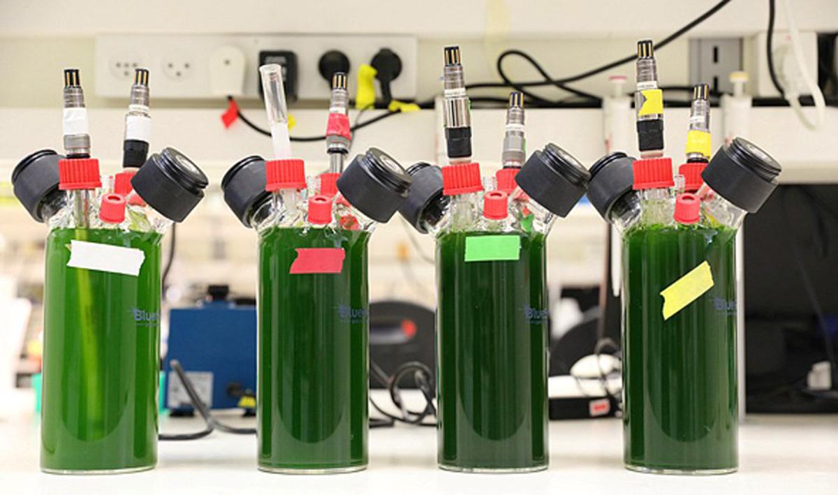 Las plantas son una potencial fuente de electricidad. Foto:Iftach Yacoby, Universidad de Tel Aviv.