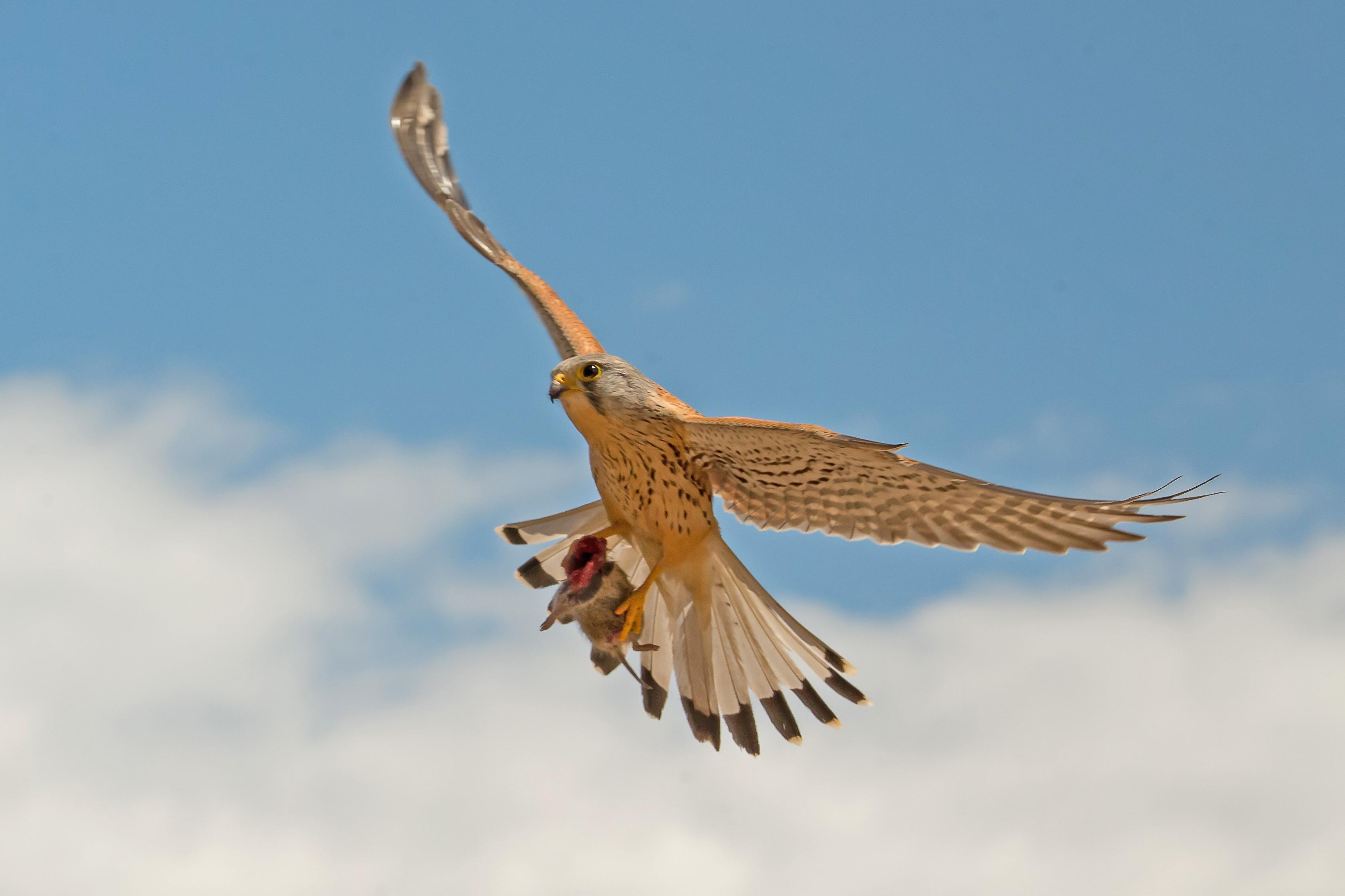 Cernícalo volando camino del nido con un topillo que acaba de apresar. // Alberto Alvarez/ Canon España