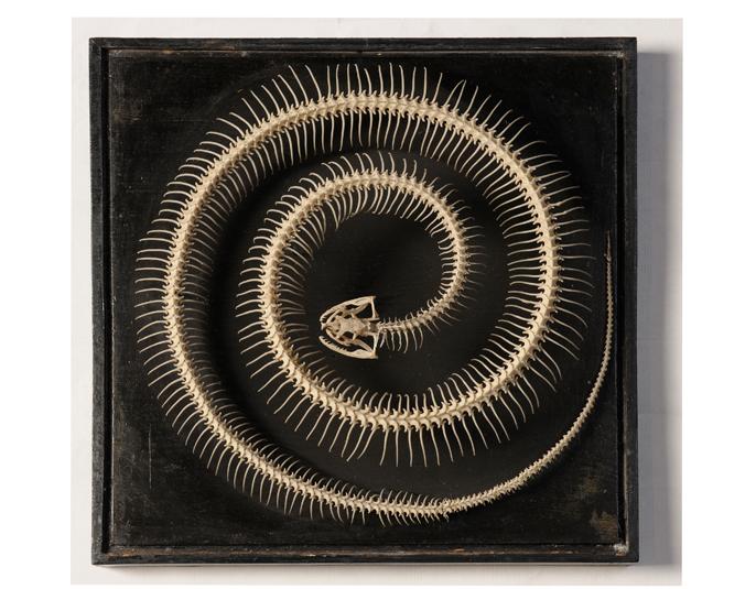 Esqueleto de una serpiente enroscada sobre sí misma, que acompaña al díptico 'Adán y Eva' de Durero. Fuente: CSIC.
