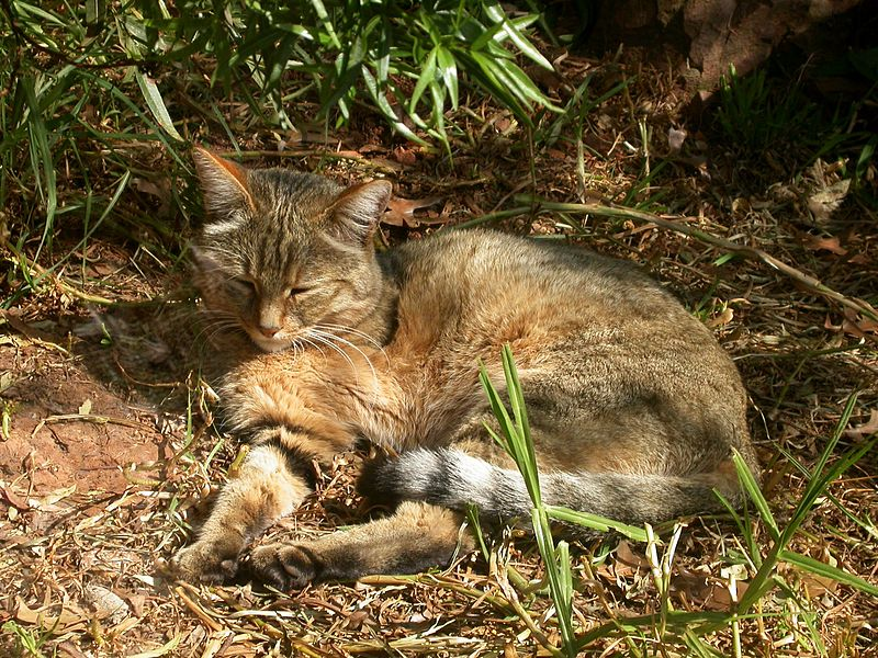 Felis silvestris líbica. Fuente: Wikipedia.