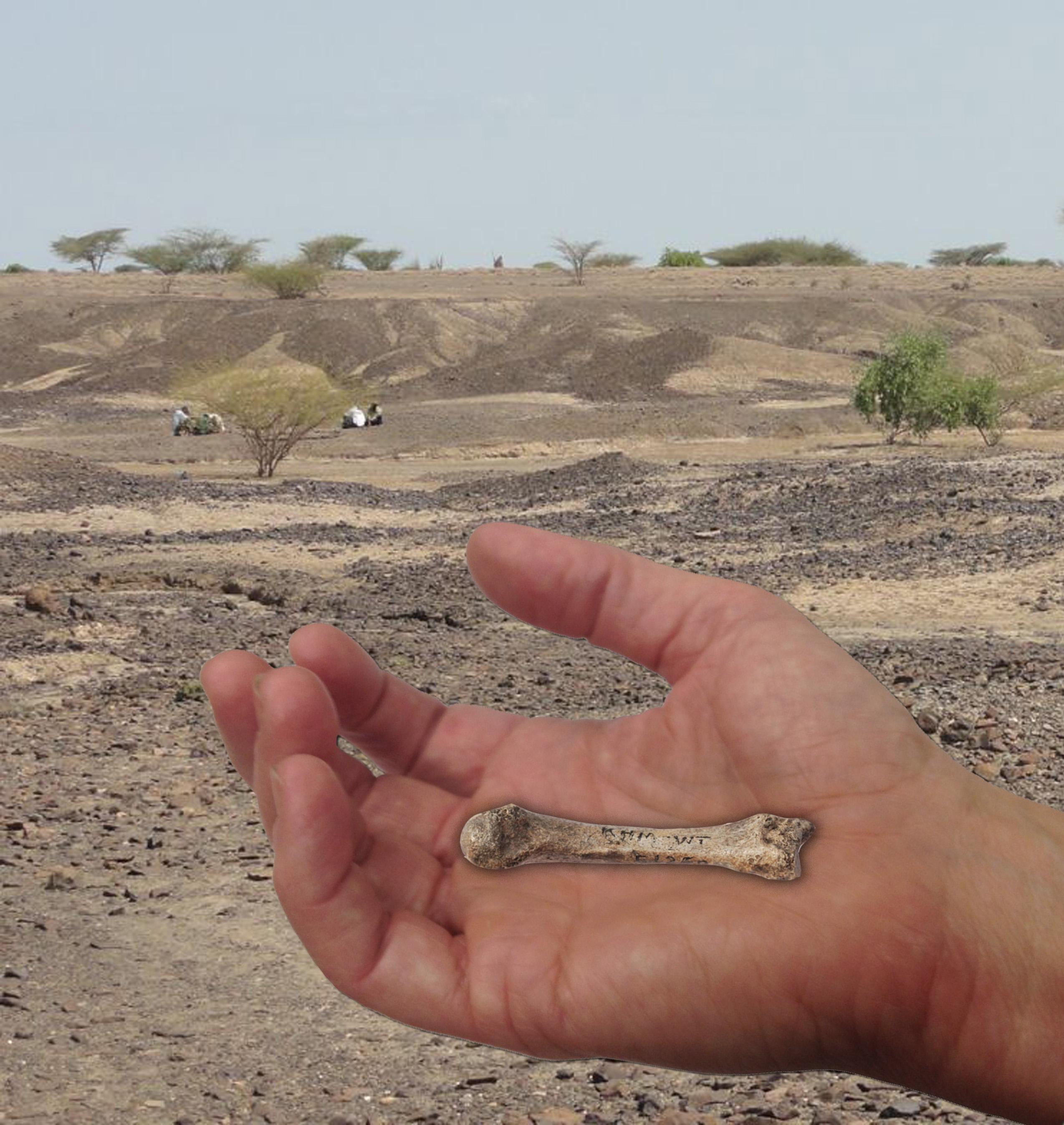 Un proceso llamado estiloide habría marcado la diferencia entre la mano humana y la de otros primates no humanos. Fuente: Universidad de Missouri.