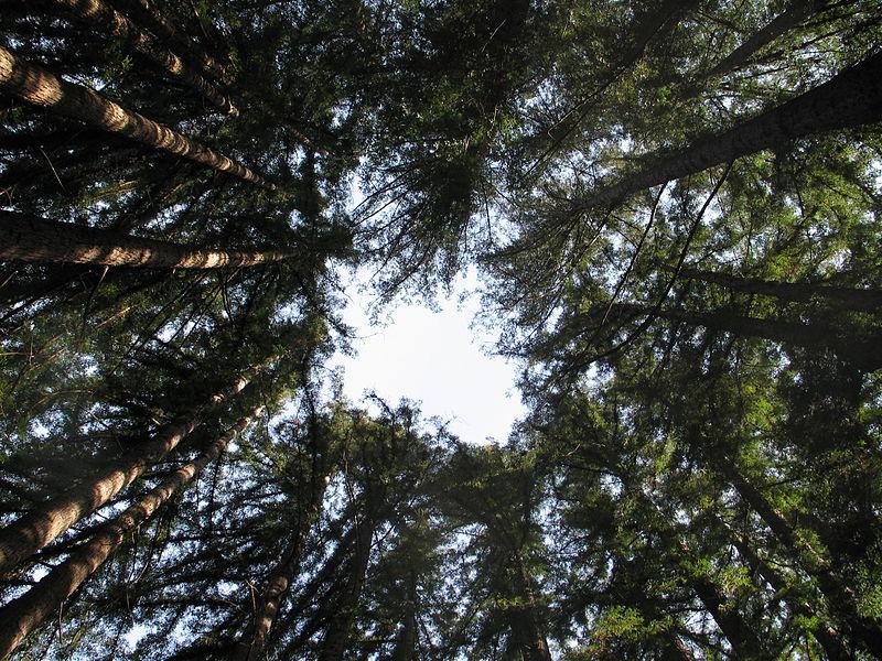 Anillo de copas de 'Sequoia sempervirens', árbol perennifolio muy longevo (entre 2.000 y 3.000 años) y uno de los organismos más altos conocidos (alcanza los 115 metros de altura sin incluir las raíces). Imagen: Goldblattster. Fuente: Wikipedia.